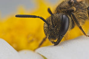 Solitary Bee 2013-2 by dalantech