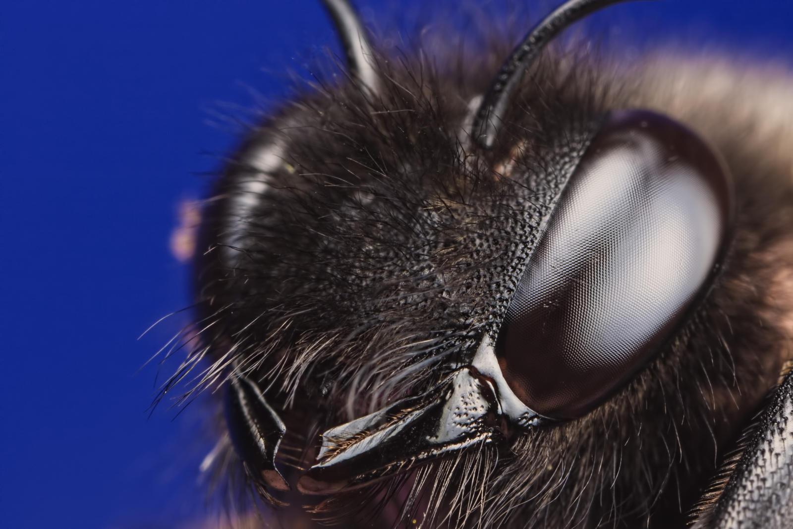 Carpenter Bee @4x by dalantech