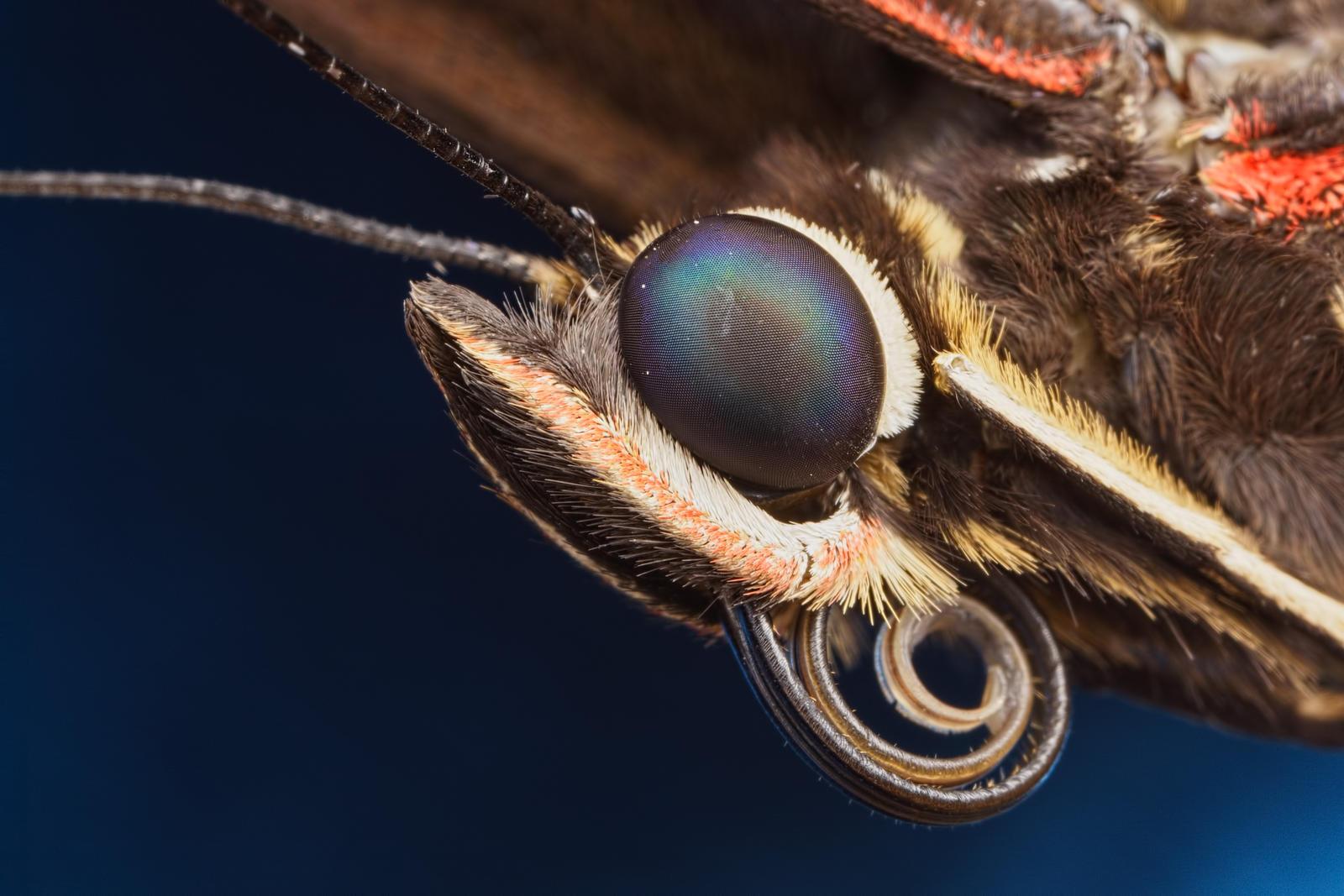 Butterfly Portrait V by dalantech