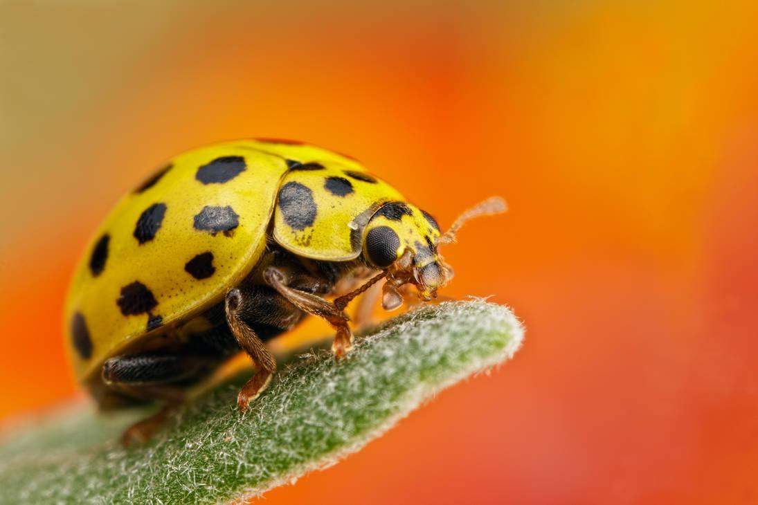 21 Spot Ladybug by dalantech
