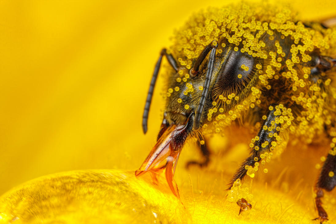 Honeybee Covered in Zucchini Pollen by dalantech