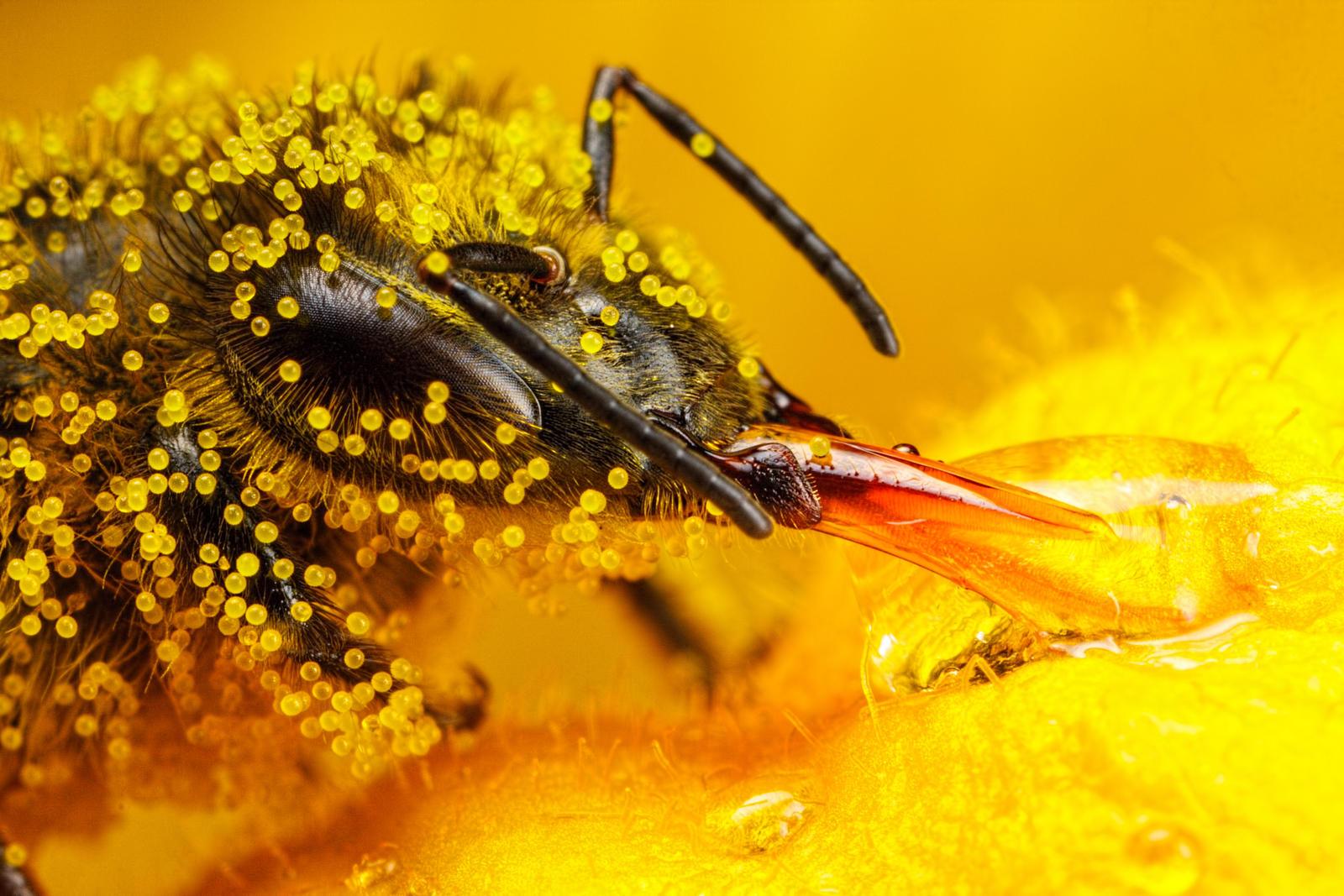 Honeybee Covered in Zu...