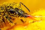 Honeybee Covered in Zucchini Pollen II