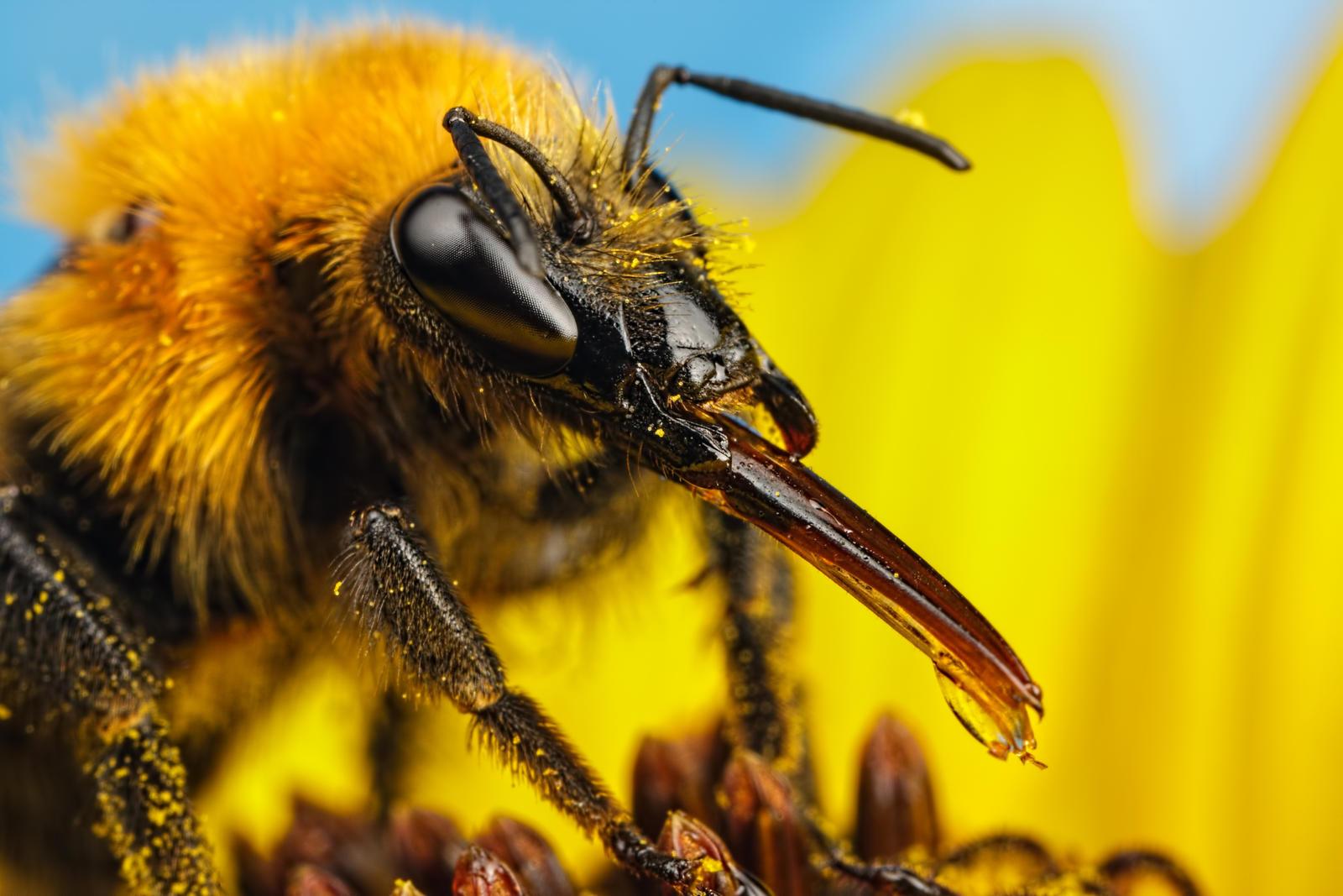 Feeding Bumblebee on a Sunflower by dalantech