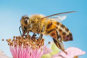 Honeybee Feeding on a Blackberry Flower II by dalantech