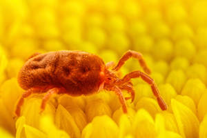 Red Velvet Mite II by dalantech