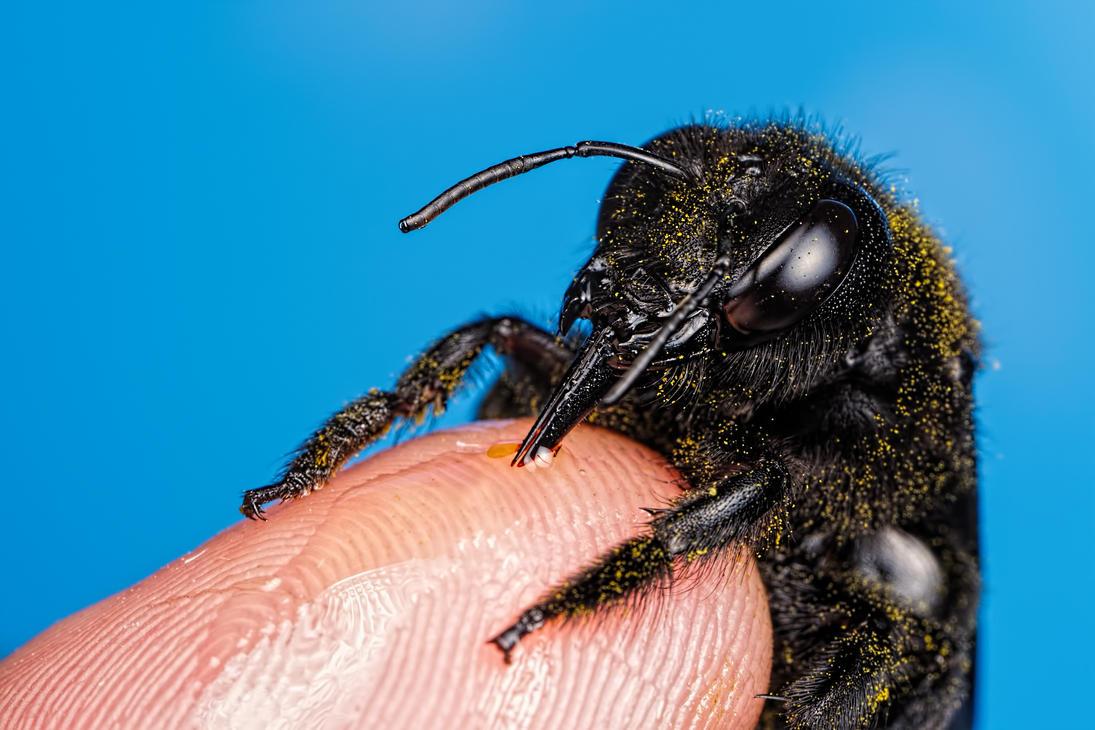 Feeding Carpenter Bee Series 1-4 by dalantech