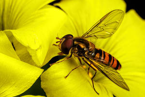 November Hoverfly II by dalantech