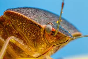 Shield Bug at 3x by dalantech