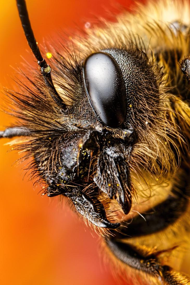 Female Mason Bee by dalantech