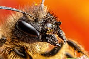 Female Mason Bee II by dalantech