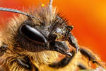 Female Mason Bee II