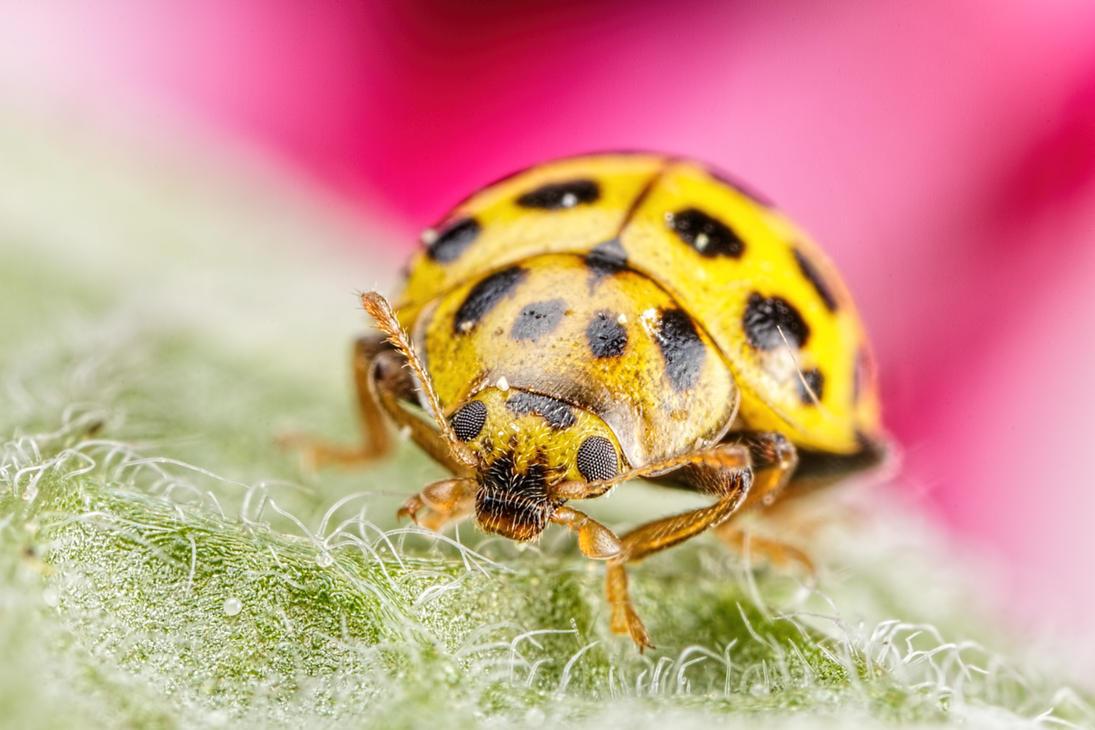 21 Spot Ladybug on Sage by dalantech