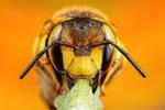 Wool Carder Bee Series 1-1
