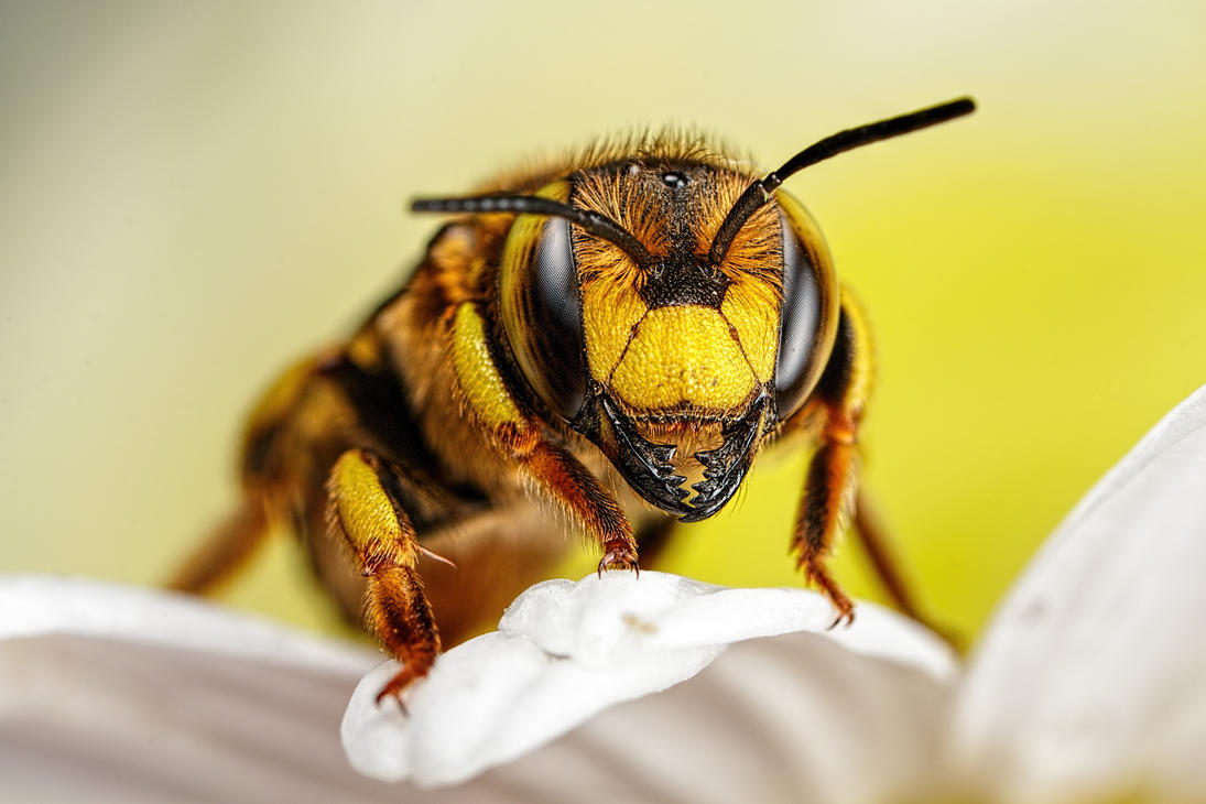 Wool Carder Bee Series 1-2 by dalantech