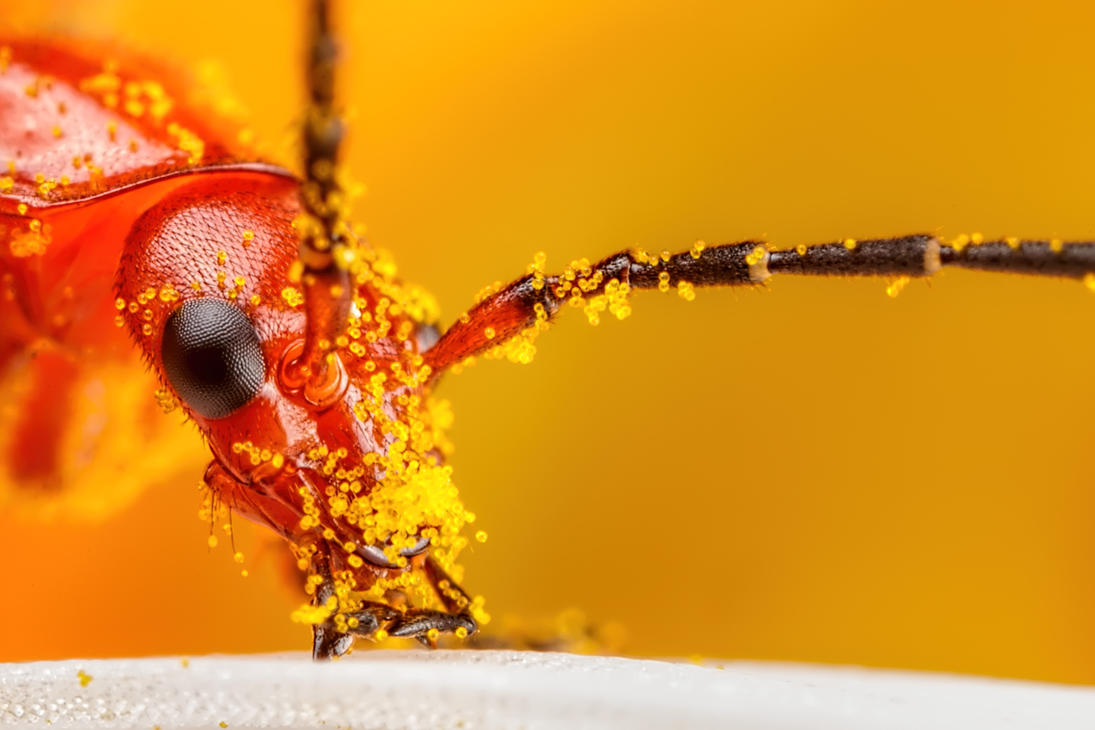 Beetle Covered in Pollen by dalantech