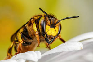 Wool Carder Bee Series 2-1 by dalantech