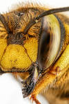 Wool Carder Bee Series 2-5