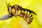 Wool Carder Bee Series 3-1