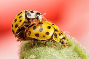 Mating Ladybugs by dalantech