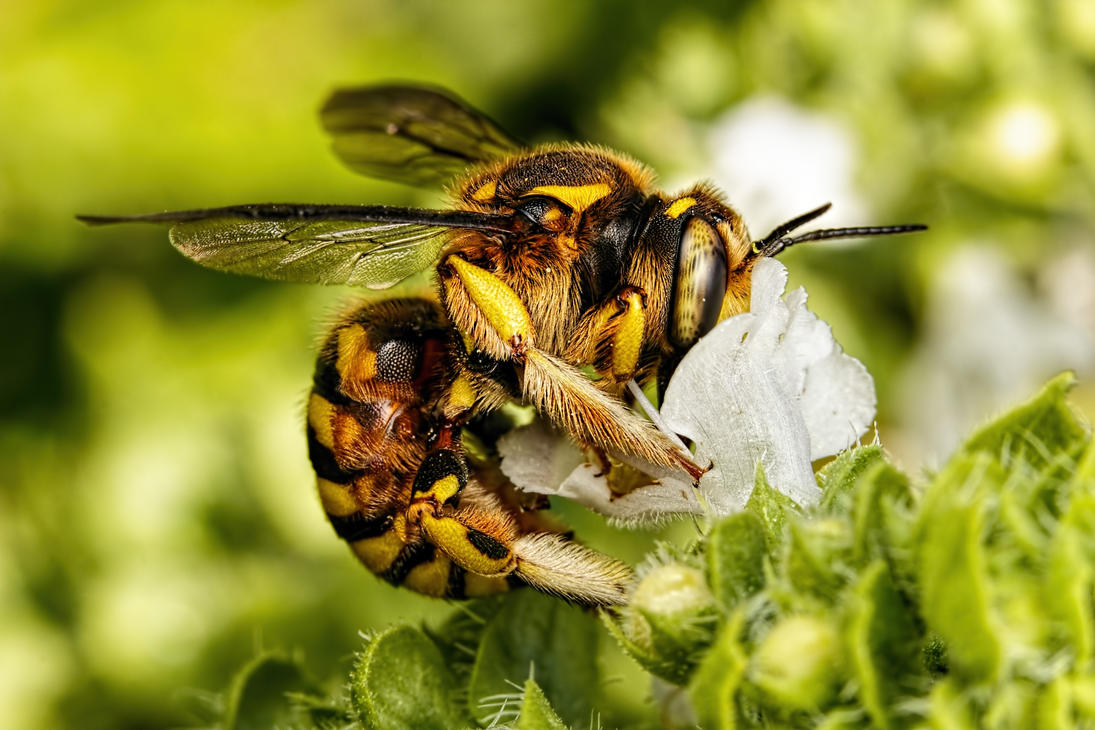 Wool Carder Bee in Basil I by dalantech