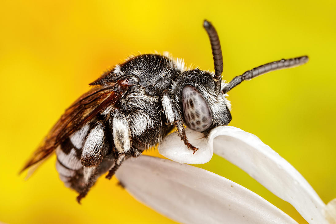 Cuckoo Bee Series 2-1 by dalantech