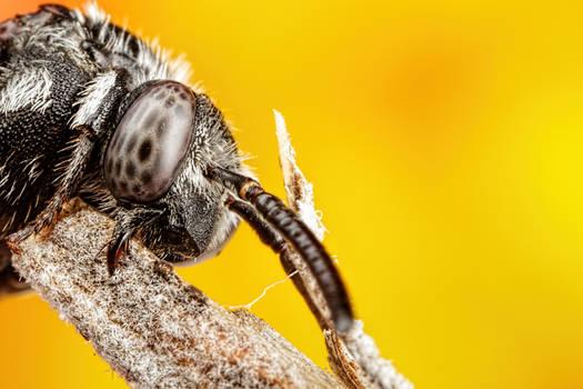 Resting Cuckoo Bee II