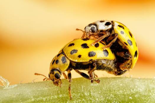Mating Ladybugs II