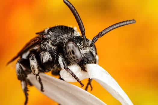 Lounging Cuckoo Bee