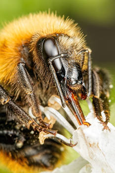 Bumblebee in Basil VIII