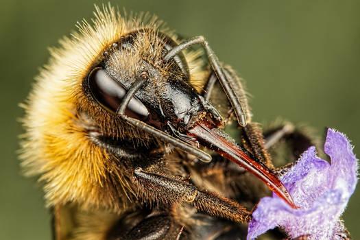 Bumblebee in Lavender II