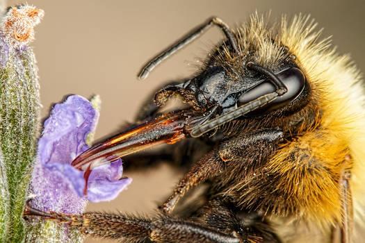 Bumblebee in Lavender III