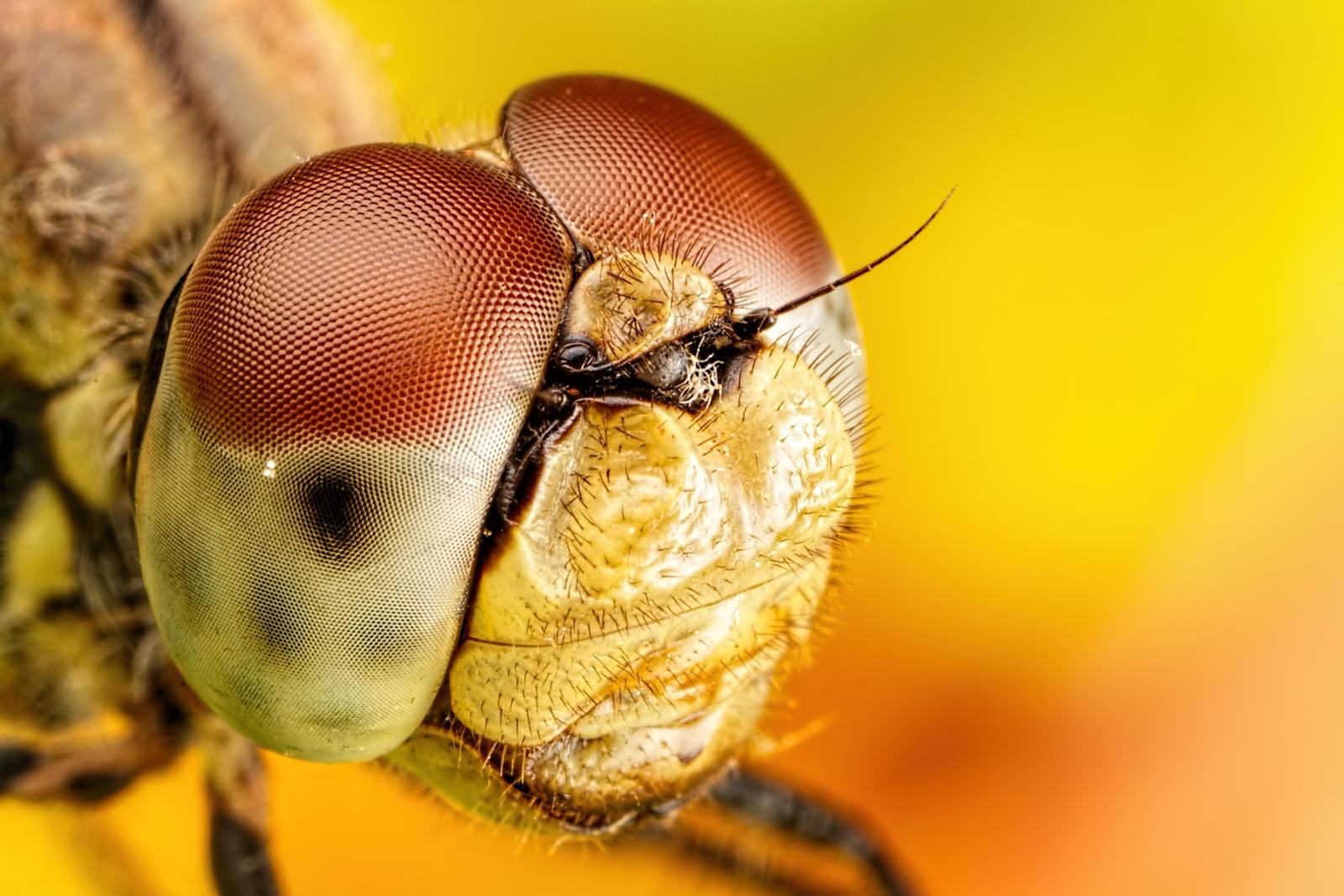 Dragonfly Portrait I
