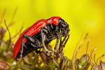 Scarlet Lilly Beetle Series 1-1