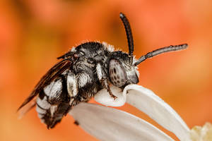 Sleeping Cuckoo Bee by dalantech