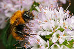 Bumblebee Resting on Mint
