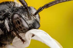 Sleeping Cuckoo Bee II by dalantech