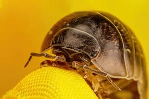 Pill Bug III by dalantech