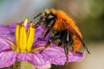 Bumblebee in Eggplant I