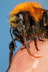 Finger Fed Bumblebee II by dalantech