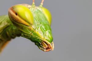 Mantis Portrait I by dalantech