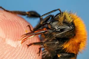 Finger Fed Bumblebee III by dalantech