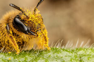 Pollen Covered Pollinator II by dalantech