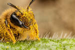 Pollen Covered Pollinator II