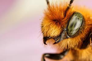 Newborn Red Mason Bee II