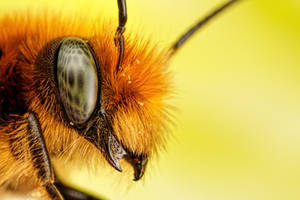 Newborn Red Mason Bee III