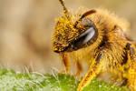 Pollen Covered Pollinator IV