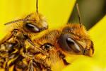 Mating Red Mason Bees