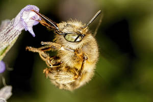 Hairy Footed Bee III by dalantech