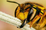 European Wool Carder Bee I